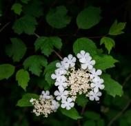 Cranberry bush, MI
