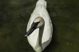 Trumpeter Swan at Kellogg Biological Station