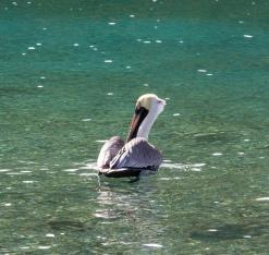 Pelican!!