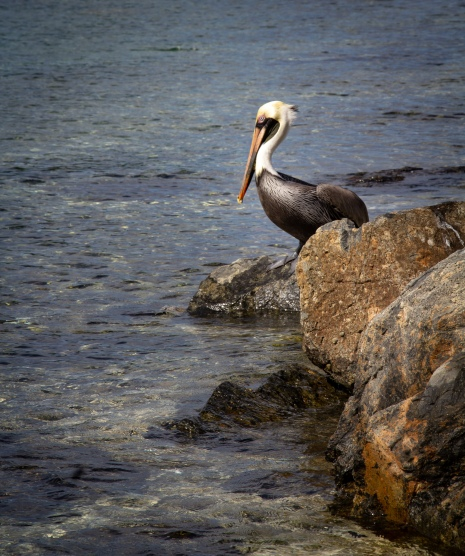 Pelican on rocks, Saint John Island