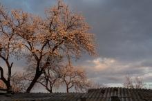 Apricot Blooms, Armenia